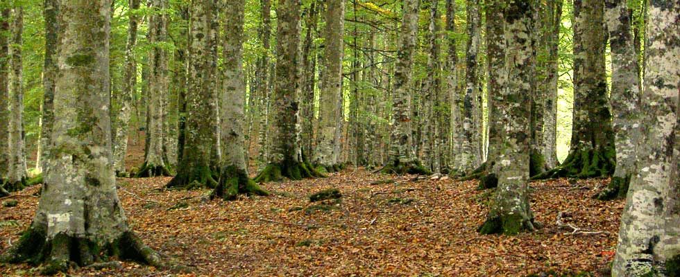 The Monte Amiata beech wood